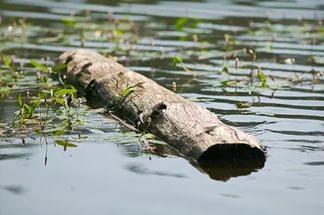 бревно в реке